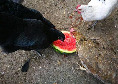 Galline che mangiano l'anguria